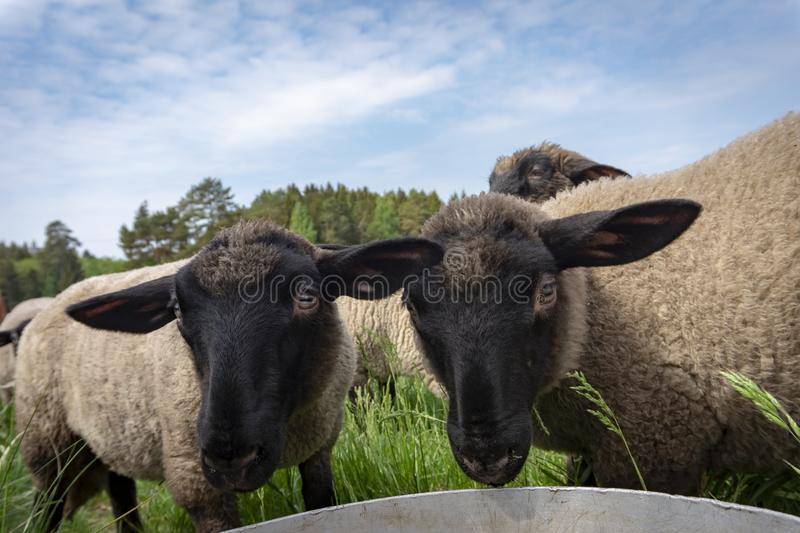 Portrait of two cute funny young sheep. In close up against a cloudy blue sky stock images