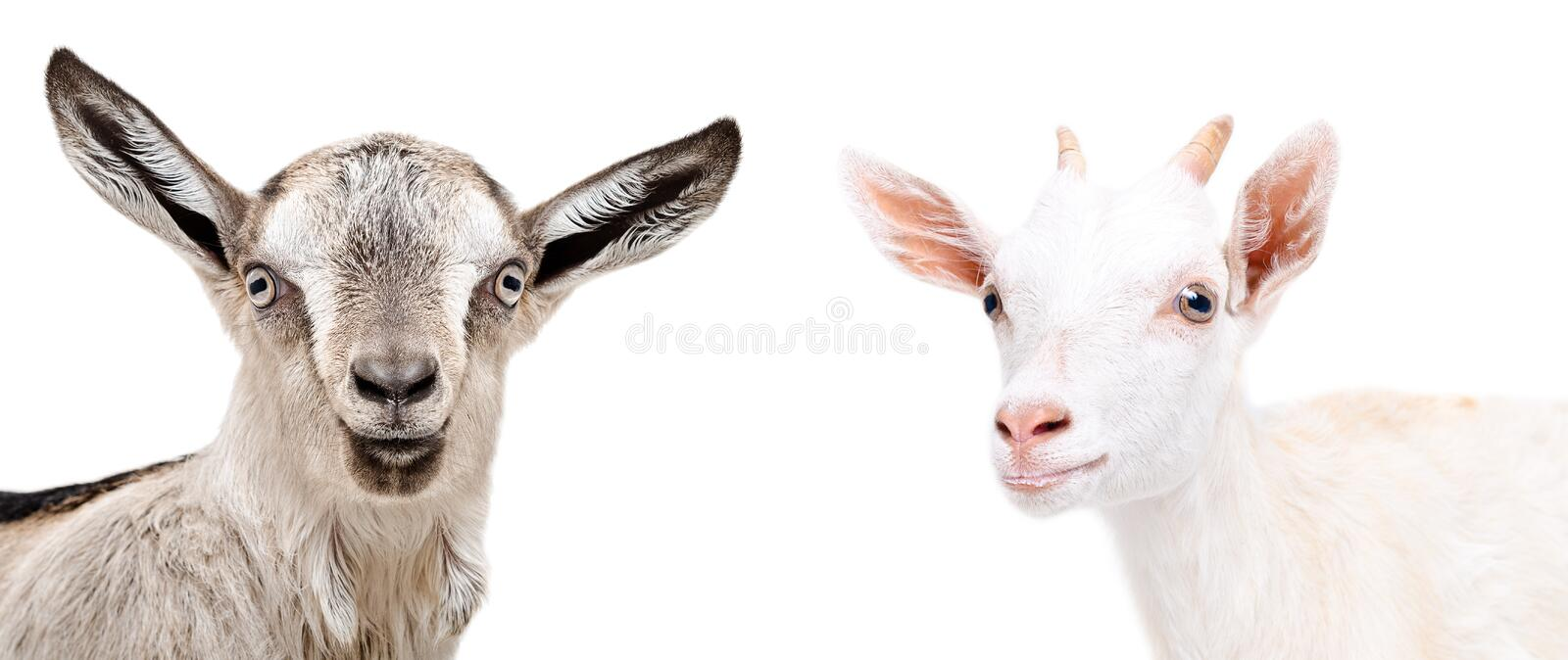 Portrait of two cute goat royalty free stock photos