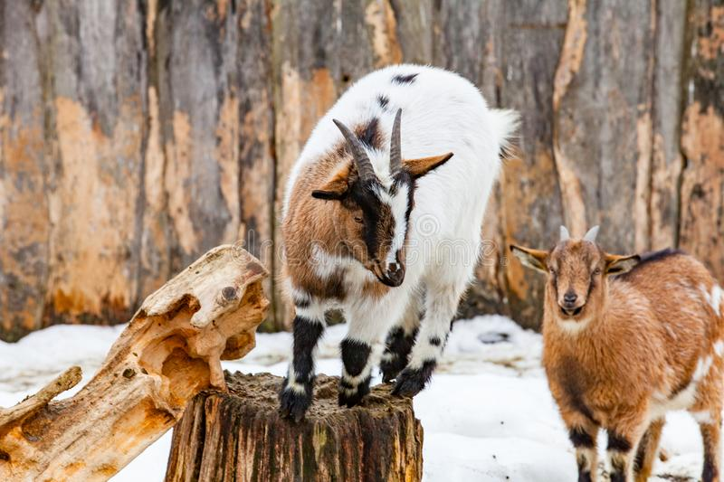Portrait of two cute young small goats stock image