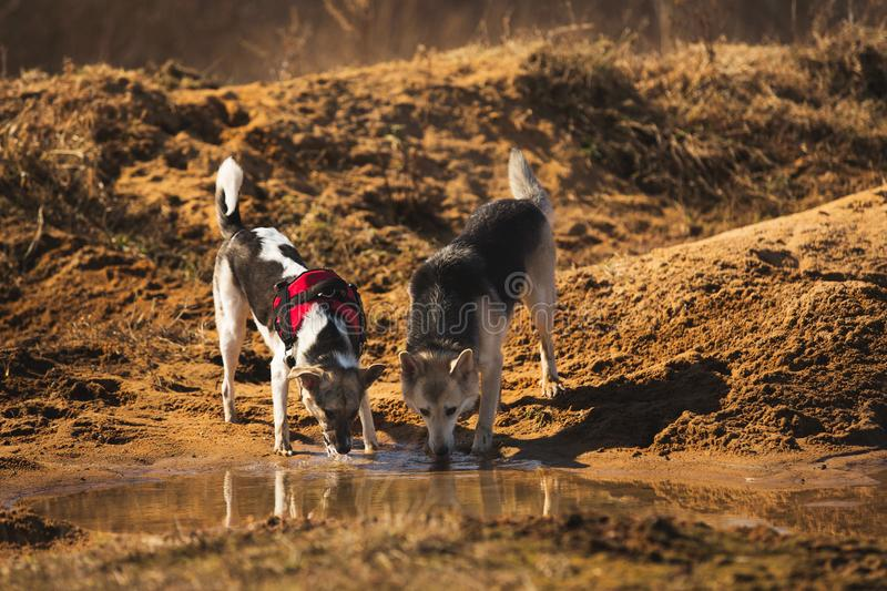 Portrait of two dogs is drinking water from puddle stock photography