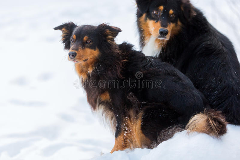 Portrait of two dogs in the snow royalty free stock photo
