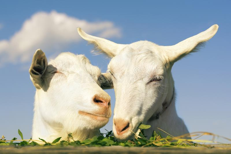Portrait two of a funny goats looking to a camera over blue sky background. White goat eats green grass stock photo