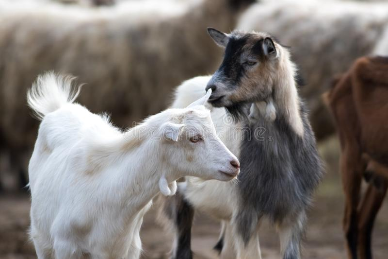 Portrait of two funny goats stock images