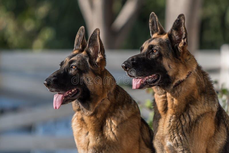 Portrait of Two German Shepherd Dogs Looking Alert stock image