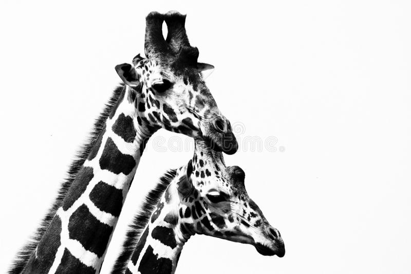 Portrait of two giraffes stock photo