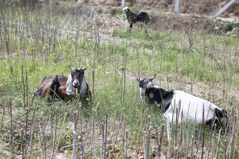 Portrait of two goat in the sitting on the grass royalty free stock image