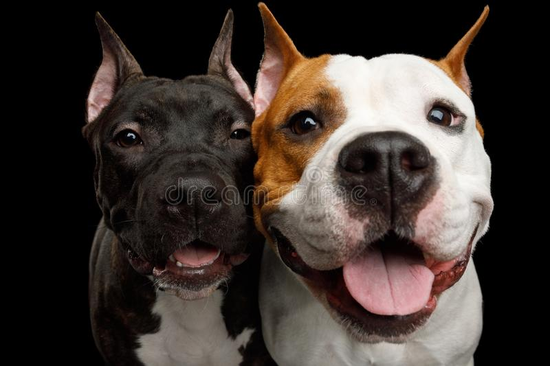 Two American Staffordshire Terrier Dogs Isolated on Black Background royalty free stock photography