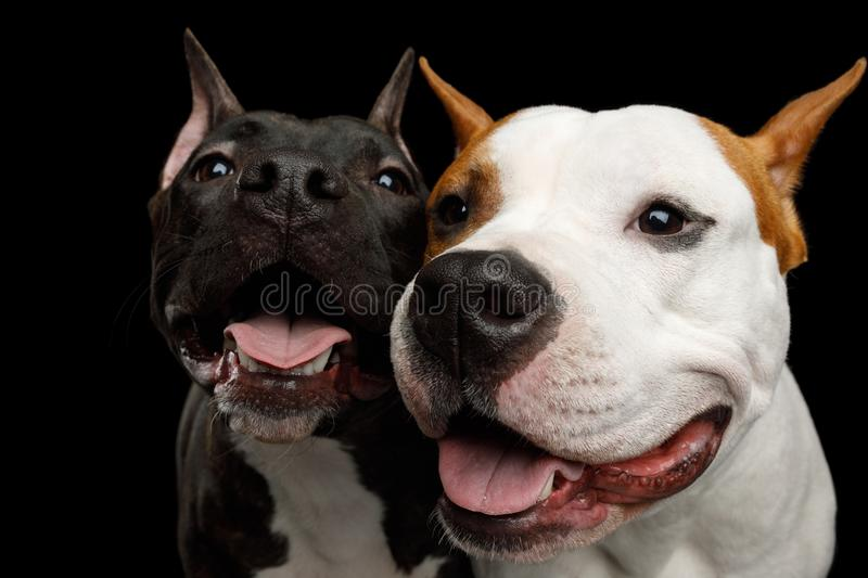 Two American Staffordshire Terrier Dogs Isolated on Black Background royalty free stock photo