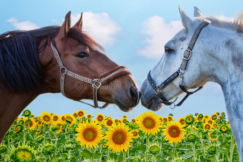 Portrait of two horse in a field sunflowers stock photography