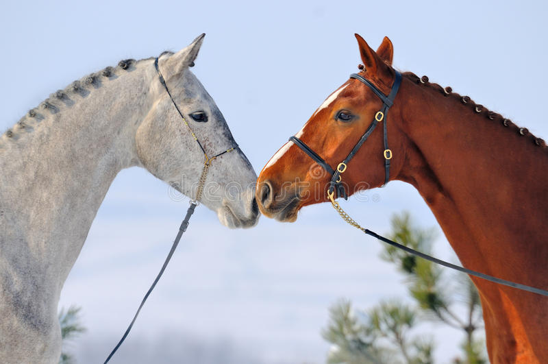 Portrait of two horses in winter royalty free stock images