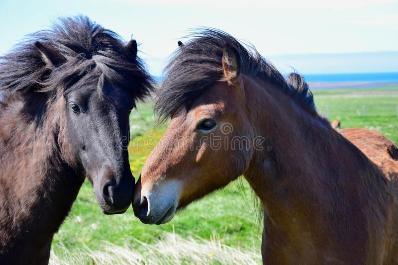 Portrait of two Icelandic horses with their heads together. Portrait of two Icelandic horses with their heads together, one bay and one black. They sniff at stock image