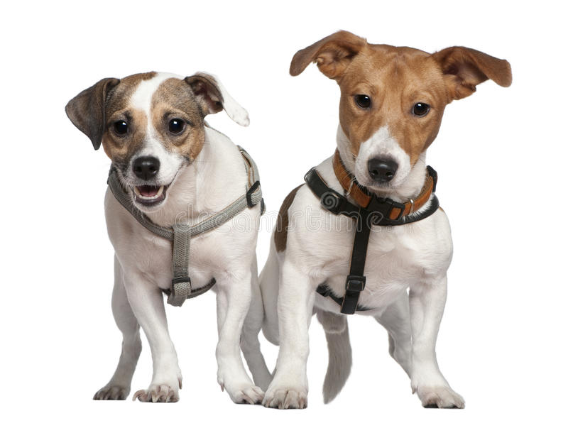 Download Portrait Of Two Jack Russell Terriers, 2 Years Old Stock Image - Image: 15359303