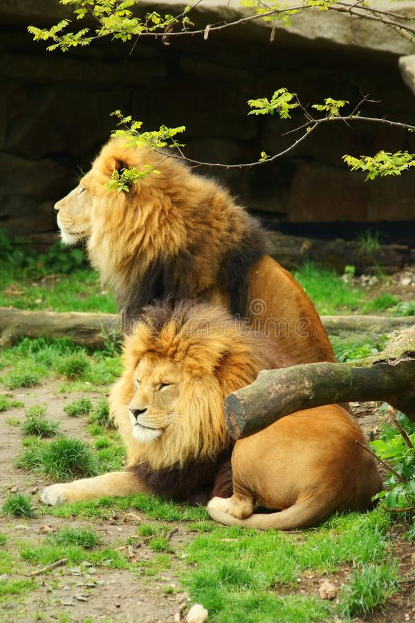 Two beautiful lions in the wild natrue royalty free stock photo