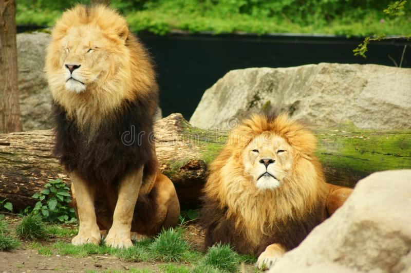 Two beautiful lions in the wild natrue stock photos