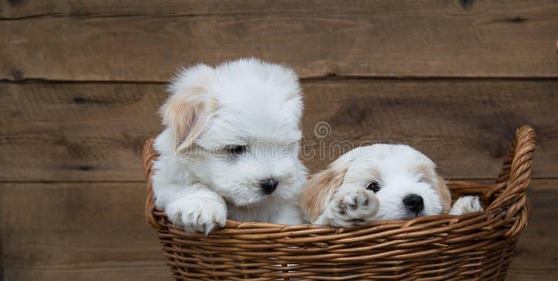 Portrait: Two little puppies - baby dogs Coton de Tulear. stock image