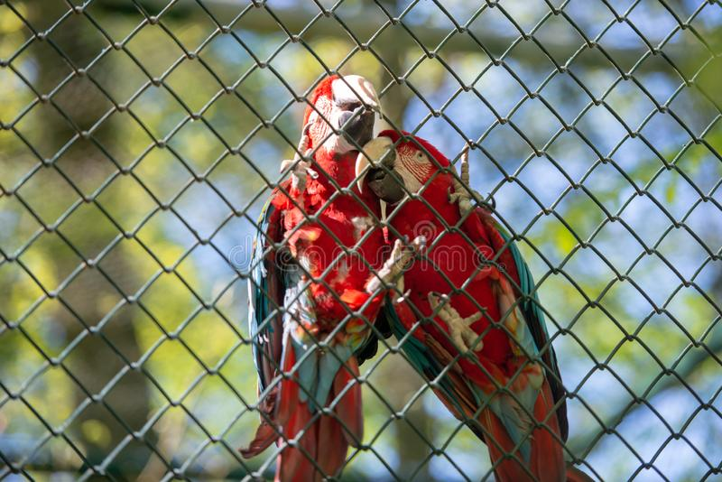 Portrait of a two parrots in front. Of the camera, animal, bird, red, ara, beak, blue, tropical, wild, brazil, eye, green, yellow, macaw, pet, feathers royalty free stock image