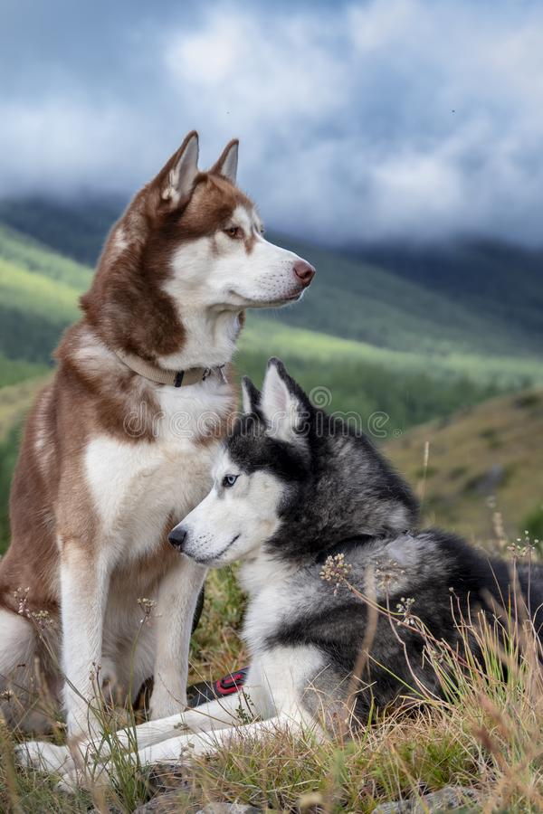 Free Portrait Two Siberian Husky Dogs Against The On Forested Mountains And Sky With Clouds. Siberian Huskies On Walk In The Mountains. Royalty Free Stock Photo - 157317055
