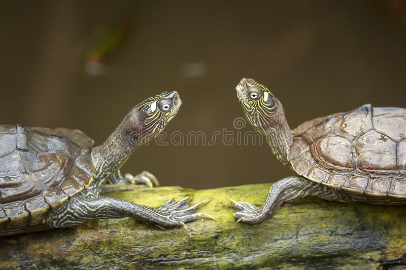 Portrait of two turtles facing each other while sunbathing on wo. Od in wetlands stock images