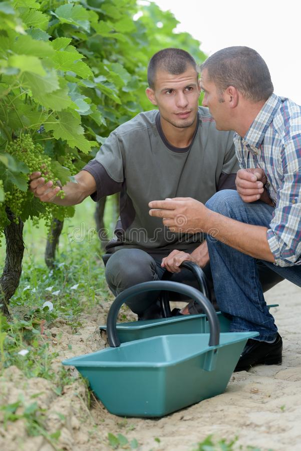 Portrait two vineyard workers discussing grapes tree. Portrait of two vineyard workers discussing grapes tree stock photography