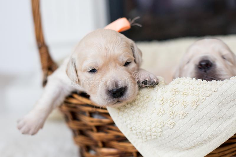 Two weeks old cute golden retriever puppy. Sweet Golden retriever baby is trying to escape from the basket. Portrait of two weeks old cute golden retriever puppy royalty free stock photography