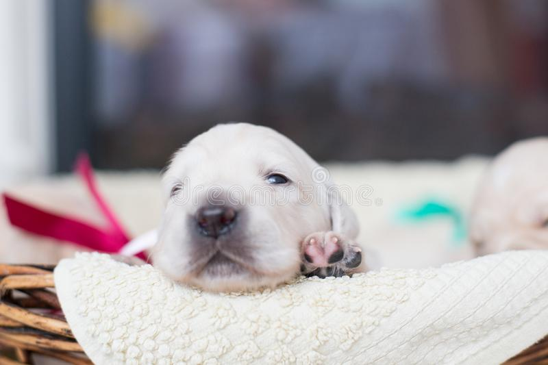 Two weeks old cute golden retriever puppy in the basket. Sweet Golden retriever baby is saying hello to the new world. Portrait of two weeks old cute golden royalty free stock images