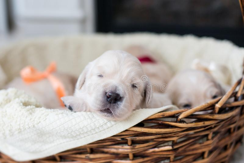 Two weeks old cute golden retriever puppy in the basket. Sweet Golden retriever baby is trying to escape from the basket. Portrait of two weeks old cute golden royalty free stock photography