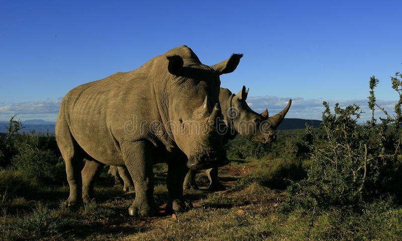 Portrait of two white rhino stock photography
