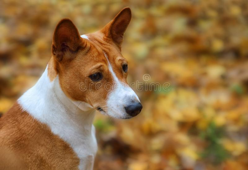 Portrait of a two-year-old dog breed Basenji outdoors royalty free stock photos