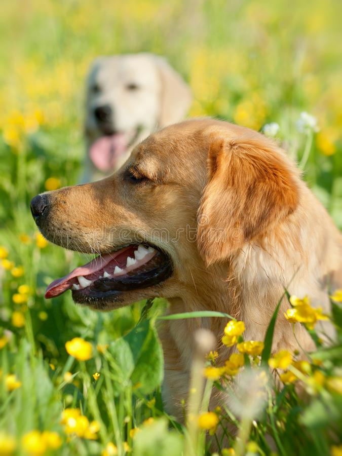 Portrait of two young beauty dogs stock images