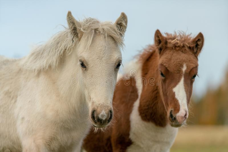 Two young Icelandic horse foal royalty free stock image
