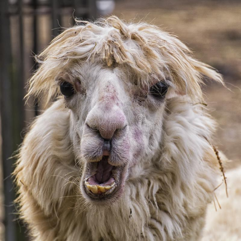 Portrait of an ugly alpaca stock photo