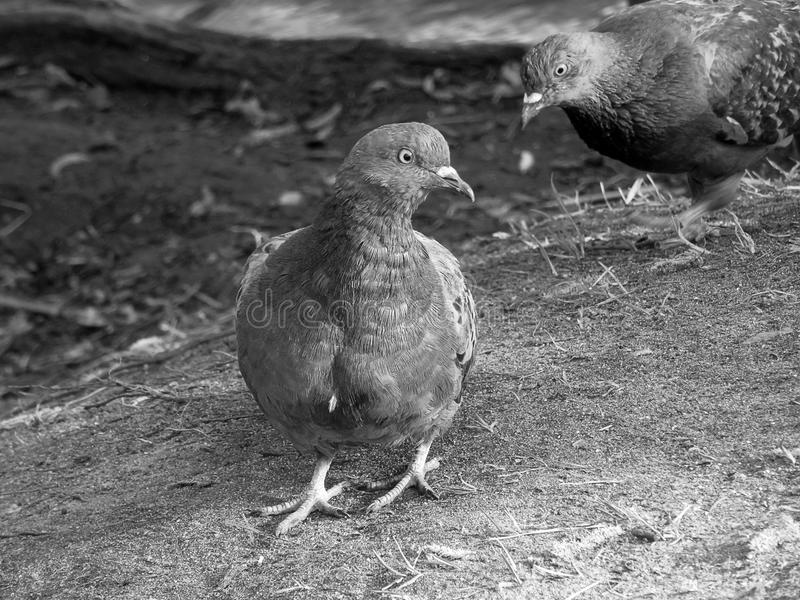 Portrait of an urban dove on a black and white image. Close-up royalty free stock photo
