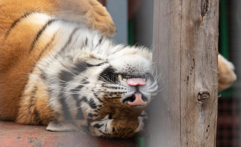 Portrait of an Ussuri tiger in a zoo.  stock image