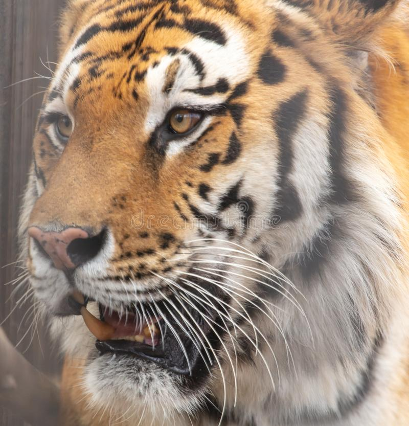 Portrait of an Ussuri tiger in a zoo.  royalty free stock images