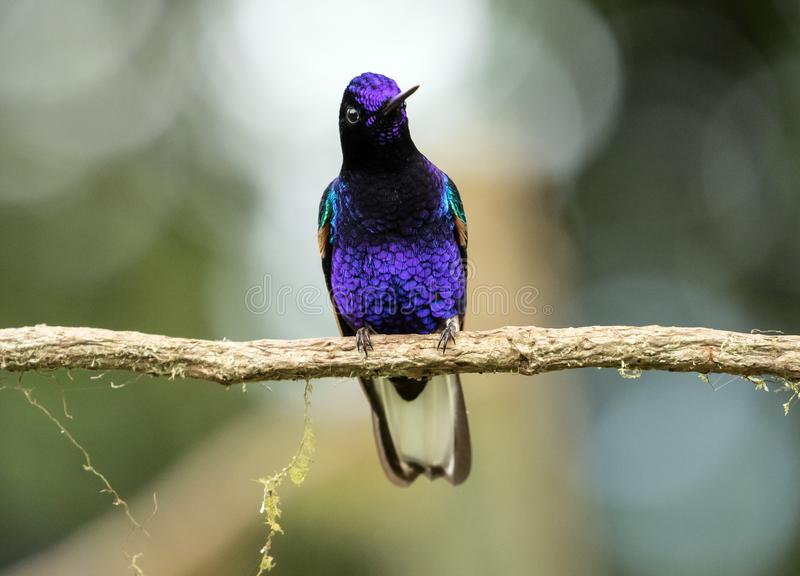 Portrait of Velvet-purple Coronet,hummingbird,Ecuador stock image