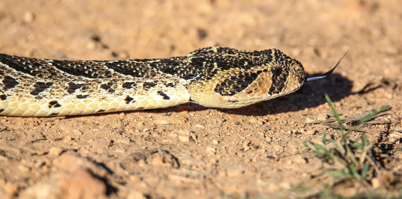 Puff Adder with distinct yellow and brown markings stock photos