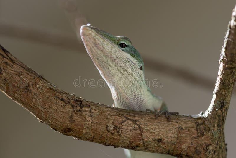Portrait vert d'Anole image libre de droits