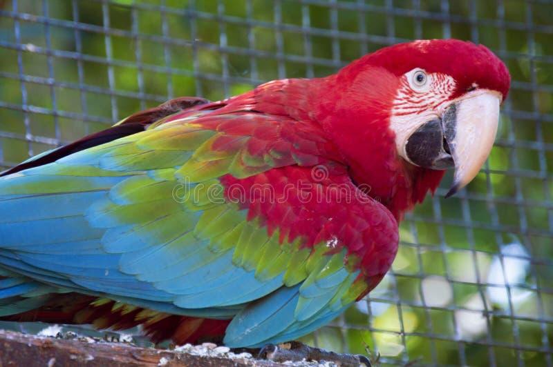 portrait vert rouge d'ara images libres de droits