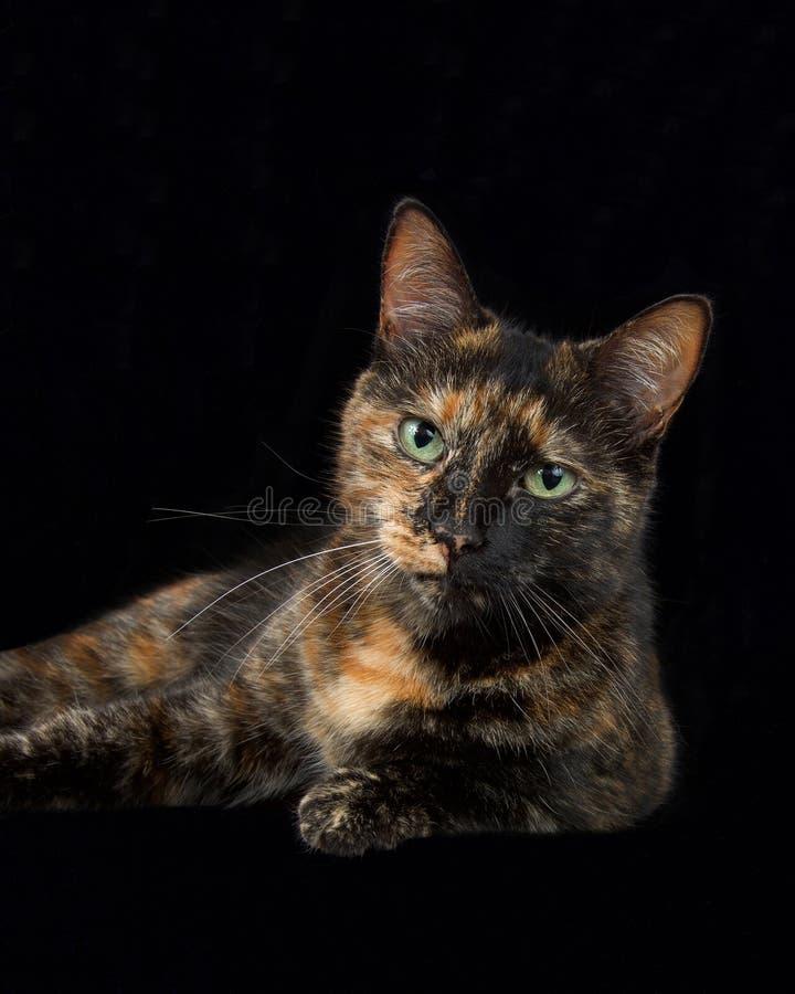 Portrait vertical d'un chat tigré de torbie de tortie avec les yeux verts intenses image stock