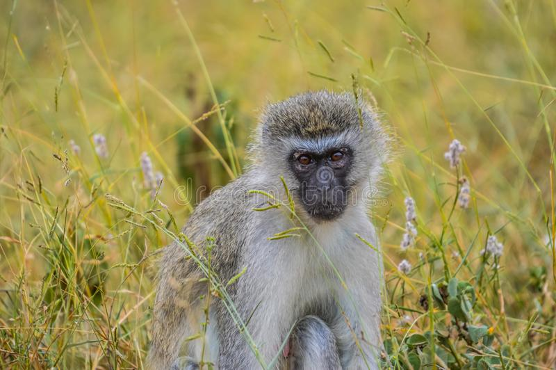 Portrait of a vervet monkey Chlorocebus pygerythrus, or simply vervet, is an Old World monkey stock images
