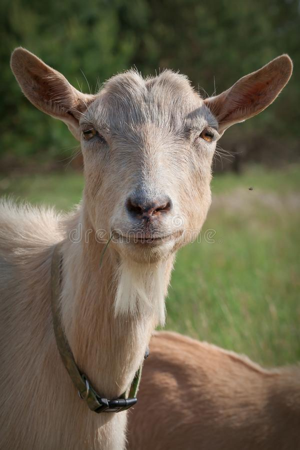 Portrait of very nice goat royalty free stock photography