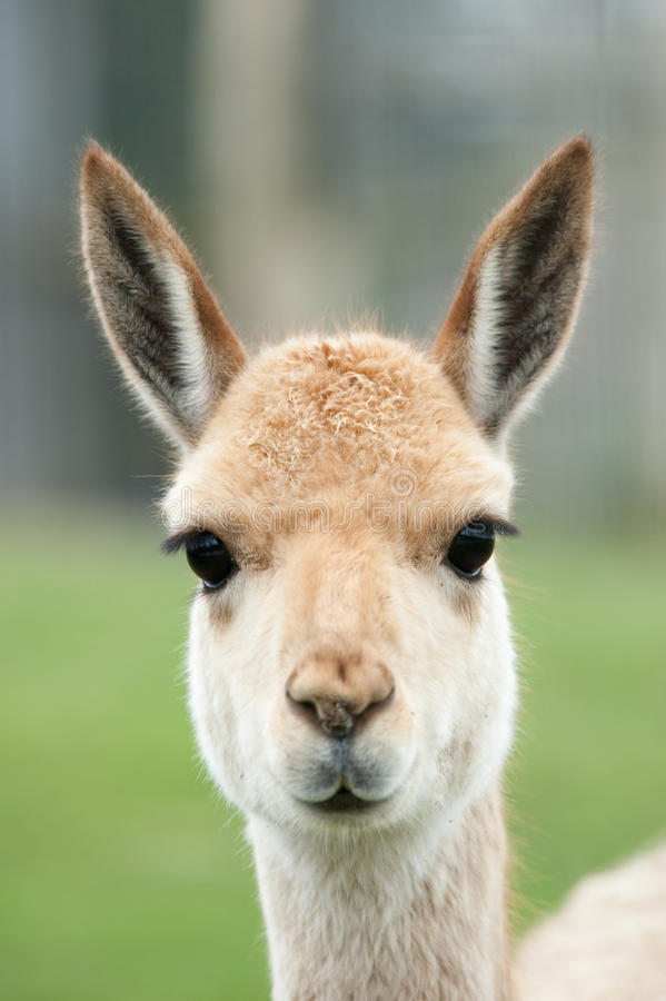 Portrait of a vicuna royalty free stock images