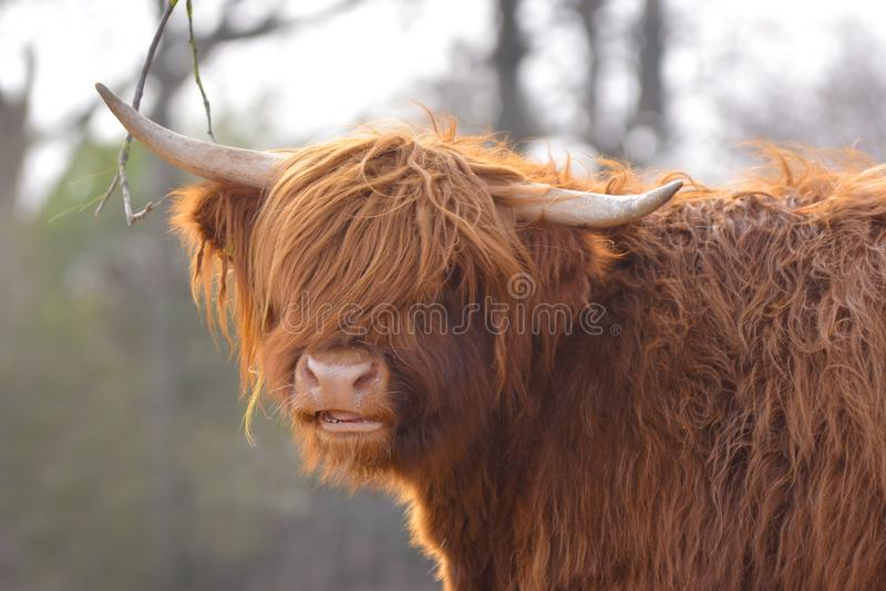 Portrait view of a beautiful Scottish Highland Cattle cow with dark brown long and scraggy fur and horns royalty free stock photos