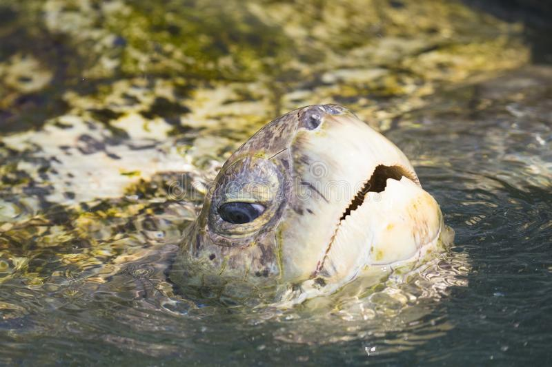 Portrait view p Green Sea turtle  from Grand Cayman Island. Portrait view of Green Sea turtle  view  from Grand Cayman Island in turquoise water royalty free stock photos