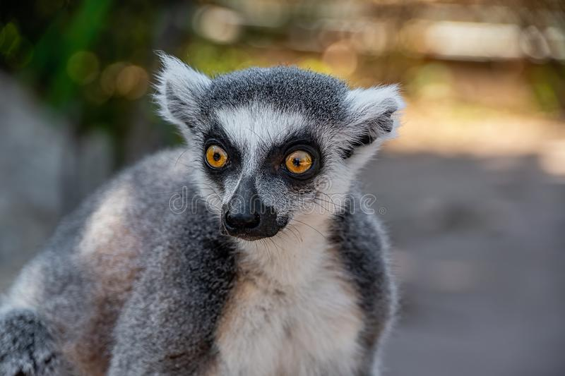Portrait view of a ring tailed lemurs head. Close portrait view of a ring tailed lemurs head royalty free stock images