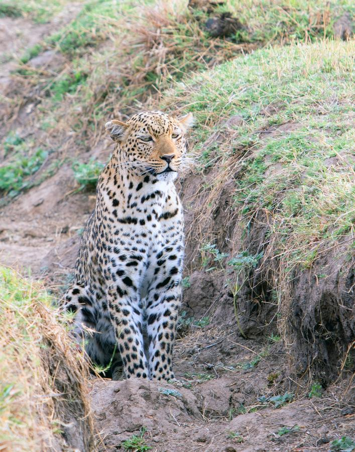 Portrait view of a wild african leopard sitting in a ravine, watching something in the distance, south luangwa, national park, am stock image