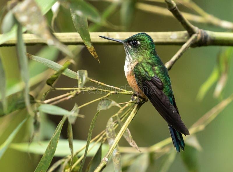 Portrait of Violet-tailed Sylph hummingbird perching,Ecuador stock photography