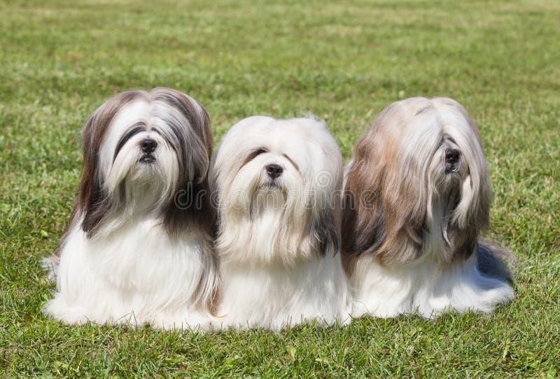 Portrait von drei reinrassigem Tier Lhasa Apso stockbild