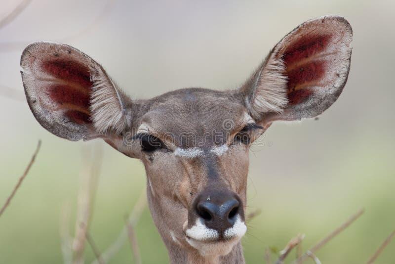 Portrait von einem weiblichen Kudu im südlichen Afrika. lizenzfreie stockfotografie