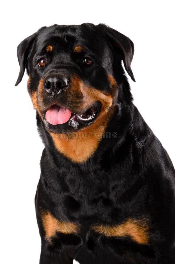 Portrait von jungem Rottweiler lizenzfreie stockbilder